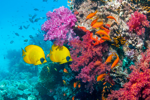 Soft Coral「Coral reef with butterflyfish」:スマホ壁紙(6)