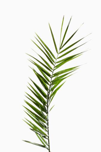 Palm Leaf「Leaves of phoenix palm against white background, close up」:スマホ壁紙(10)