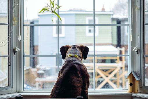 Boxer - Dog「Boxer at the window」:スマホ壁紙(1)