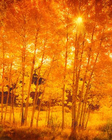 Aspen Tree「Aspen trees in Colorado」:スマホ壁紙(15)