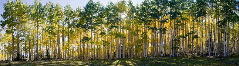 Aspen Tree「Aspen trees in autumn」:スマホ壁紙(13)