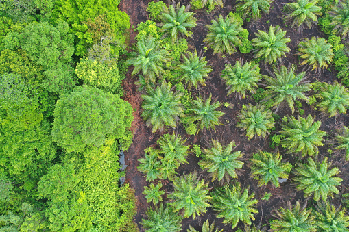 Kota Kinabalu「Sustainable Aerial view Palm Oil Plantation at the Peat Swamp Forest or Peatland Forest in Klias Beaufort Sabah Borneo Malaysia.」:スマホ壁紙(11)