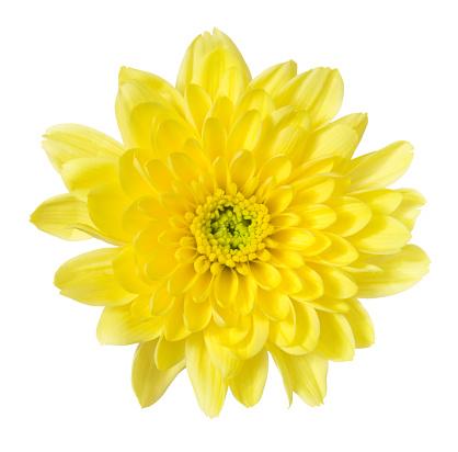 Single Flower「Chrysanthemum」:スマホ壁紙(16)