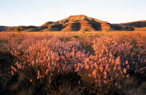Wildflower「wildflowers near rock outcrop, karijini national park, western australia」:スマホ壁紙(1)