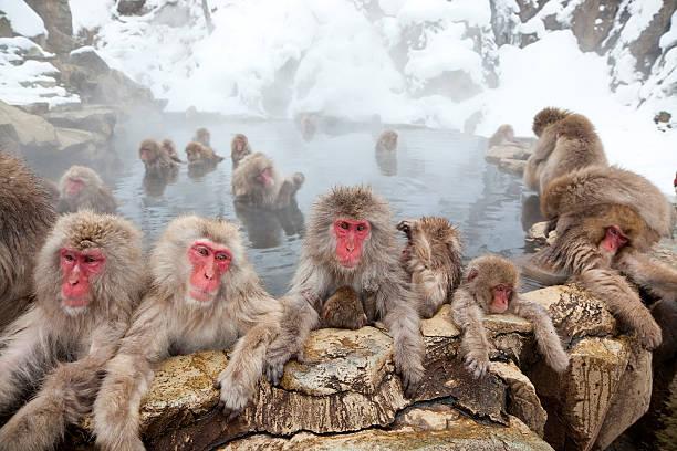 Japanese Macaques or Snow Monkeys, Japan:スマホ壁紙(壁紙.com)