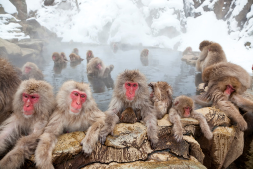 動物「Japanese Macaques or Snow Monkeys, Japan」:スマホ壁紙(2)