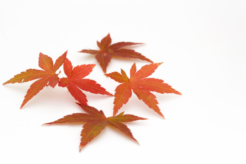 かえでの葉「イロハモミジの葉」:スマホ壁紙(1)