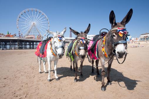 Pier「Donkeys on the beach near Central Pier on Blackpool Beach, Blackpool, Lancashire, England, UK」:スマホ壁紙(13)