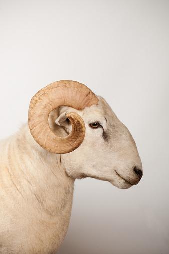 Horned「Wiltshire Longhorn ram」:スマホ壁紙(14)