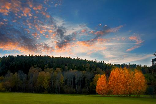 Aspen Tree「Stand of autumn Birch trees」:スマホ壁紙(16)