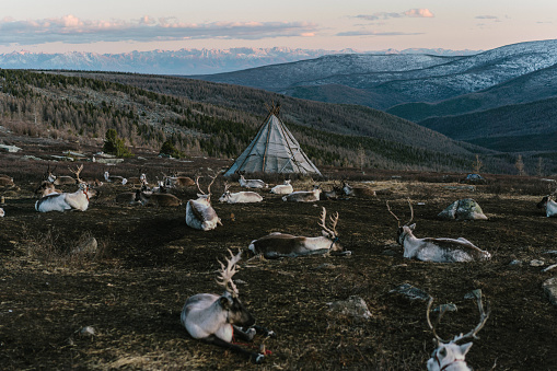 Boreal Forest「Reindeers near the teepee  in Mongolia」:スマホ壁紙(9)