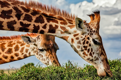 Horned「Giraffe grazing top of the acacia thorn tree at wild」:スマホ壁紙(11)