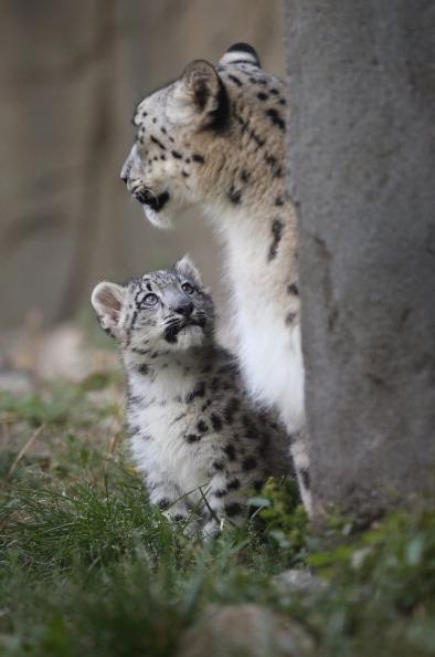 Big Cat「Brookfield Zoo Introduces 3-Month Old Snow Leopard Cub To Public」:写真・画像(9)[壁紙.com]