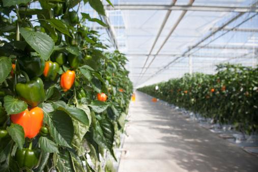 Red Bell Pepper「Produce growing in greenhouse」:スマホ壁紙(2)