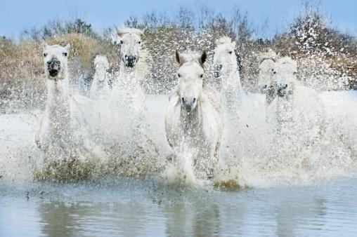 Shallow「White Camargue Horses (Equus caballus) running through water,  Camargue, France」:スマホ壁紙(7)