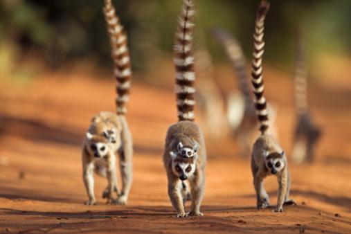 Walking「Ring-tailed Lemur troop on the move」:スマホ壁紙(4)