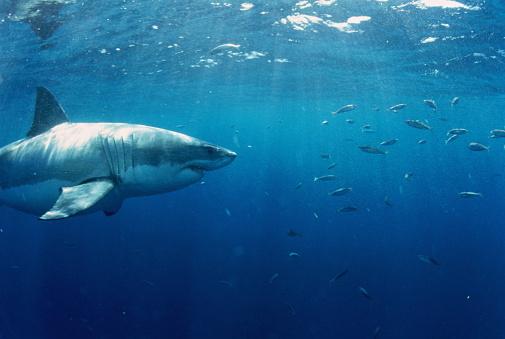 Pursuit - Concept「Great white shark (Carcharodon carcharias), Australia」:スマホ壁紙(18)