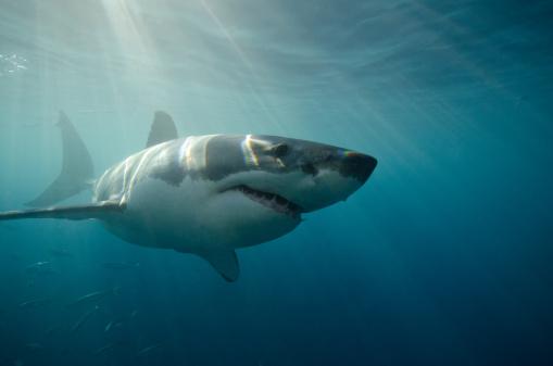 Mexico「Great White Shark swimming underwater」:スマホ壁紙(5)