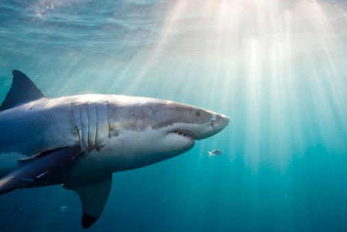 Swimming「Great White Shark」:スマホ壁紙(15)