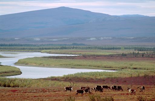 reindeer「Herd of Caribou, Alaskan Tundra」:スマホ壁紙(9)