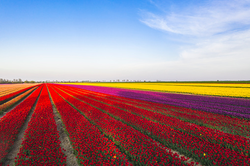 Agricultural Field「Germany, Saxony-Anhalt, aerial view of tulip fields」:スマホ壁紙(0)