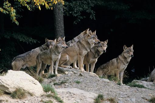 Mammal「Pack of Gray Wolves」:スマホ壁紙(11)
