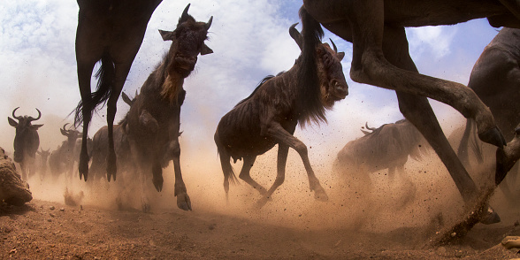 Horned「Eastern White-bearded Wildebeest herd on the move」:スマホ壁紙(18)
