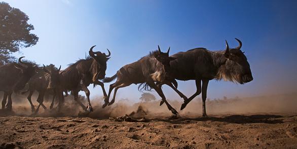 Horned「Eastern White-bearded Wildebeest herd on the move」:スマホ壁紙(6)