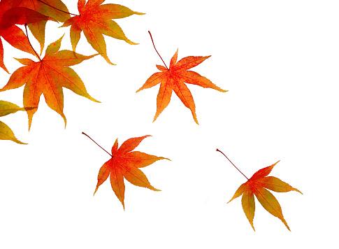 かえでの葉「Autumnal maple leaves floating across white.」:スマホ壁紙(10)