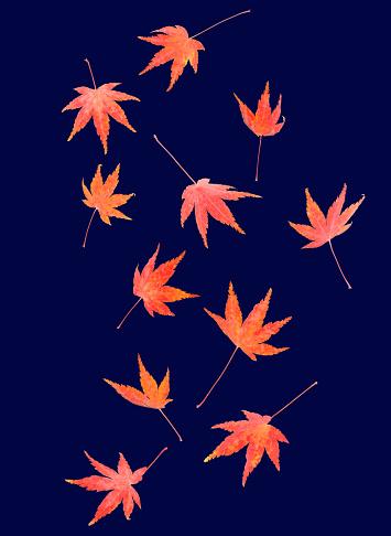 かえでの葉「Autumnal maple leaves tumble across midnight blue」:スマホ壁紙(10)