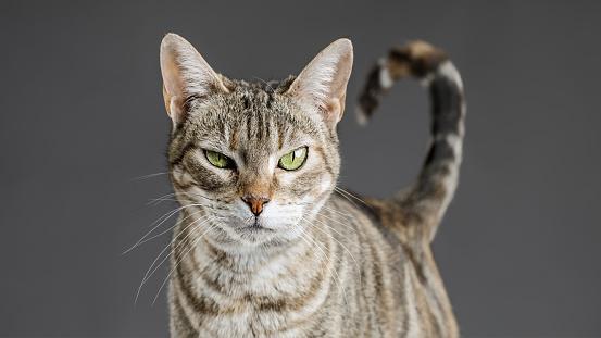 Females「Cute european cat portrait」:スマホ壁紙(8)