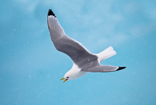 Pack Ice「Black-legged Kittiwake in flight」:スマホ壁紙(19)