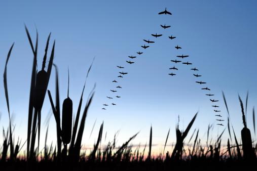 Flock Of Birds「XXL migrating canada geese」:スマホ壁紙(3)