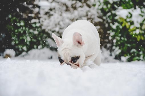 Puppy「White French Bulldog puppy sniffing snow.」:スマホ壁紙(4)