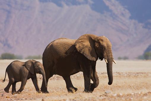 Teenager「A breeding herd of desert adapted elephants moving」:スマホ壁紙(13)