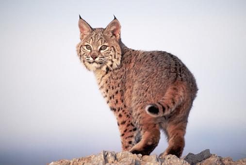 1990-1999「Bobcat」:スマホ壁紙(4)
