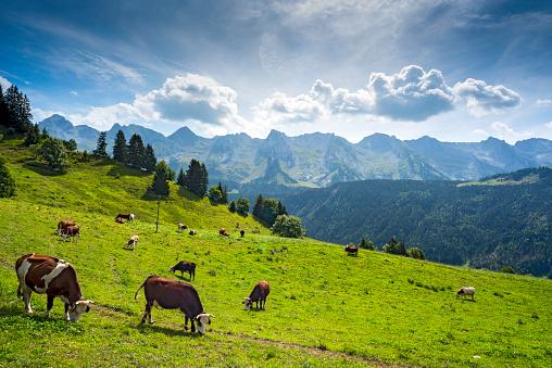 Auvergne-Rhône-Alpes「Cows grazing in altitude on an Alpine meadow above the Village of Le Grand-Bornand, near the Aravis Mountain Range, Haute Savoie, France」:スマホ壁紙(6)