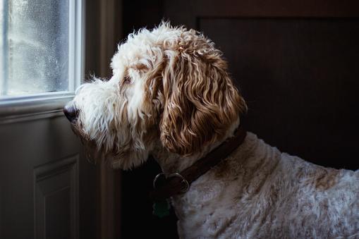Mixed-Breed Dog「Dog looking throw a window」:スマホ壁紙(19)