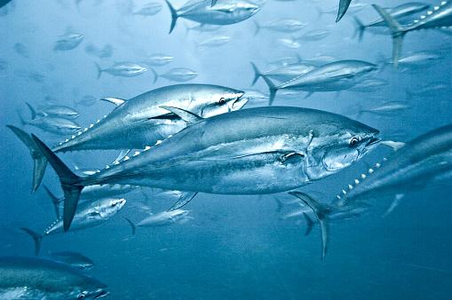 Fish「Tuna School」:スマホ壁紙(18)