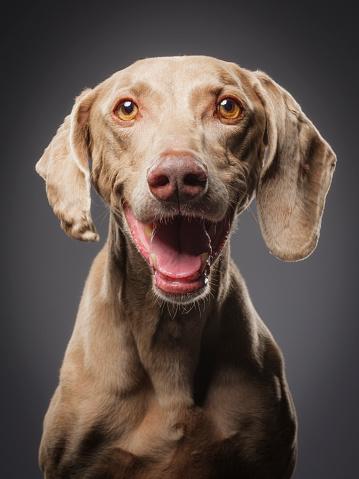Headshot「Purebred Black Weimaraner Dog」:スマホ壁紙(13)