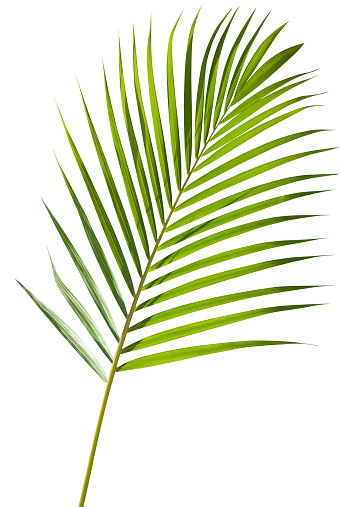 Palm Leaf「Green palm tree leaf with isolated on white clipping path」:スマホ壁紙(4)