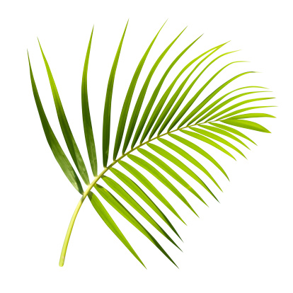 Botany「Green palm leaf isolated on white with clipping path」:スマホ壁紙(11)