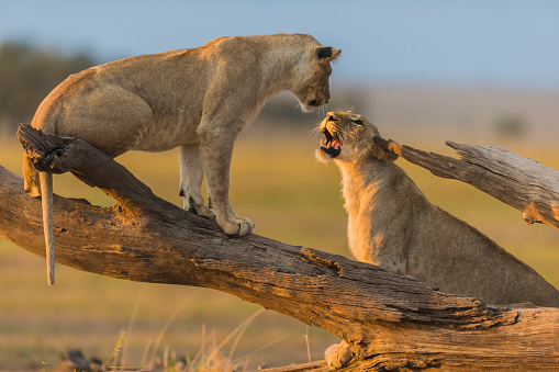 Face To Face「Lionesses play fighting on a fallen tree log.」:スマホ壁紙(4)