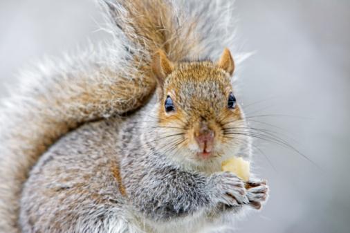 Eastern Gray Squirrel「Squirrel Eating Banana, Hampstead, UK」:スマホ壁紙(8)