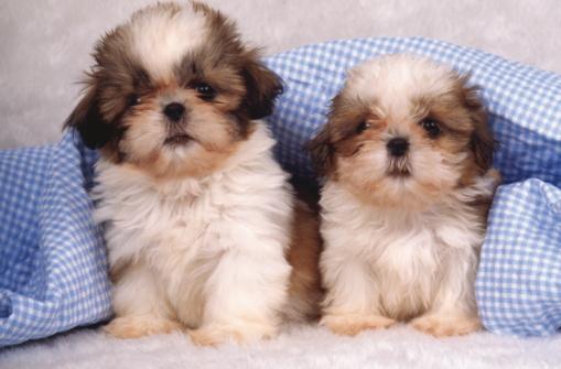 Puppy「Shih Tzu puppies under a checked blanket」:スマホ壁紙(5)