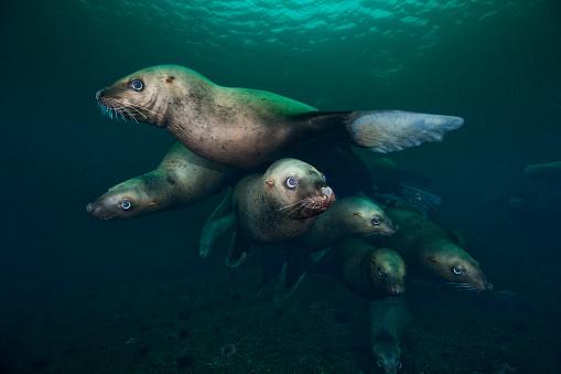 Sea Lion「Steller sea lions swimming underwater」:スマホ壁紙(14)