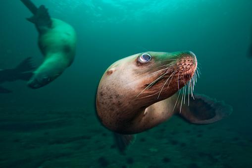Sea Lion「Steller sea lions swimming underwater」:スマホ壁紙(13)