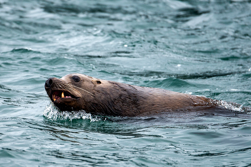 Sea Lion「Steller sea lion」:スマホ壁紙(15)