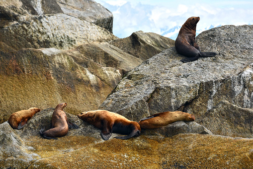 Sea Lion「Steller Sea Lions in Alaska」:スマホ壁紙(1)