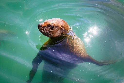 Sea Lion「Steller Sea Lion, South Marble Island」:スマホ壁紙(3)